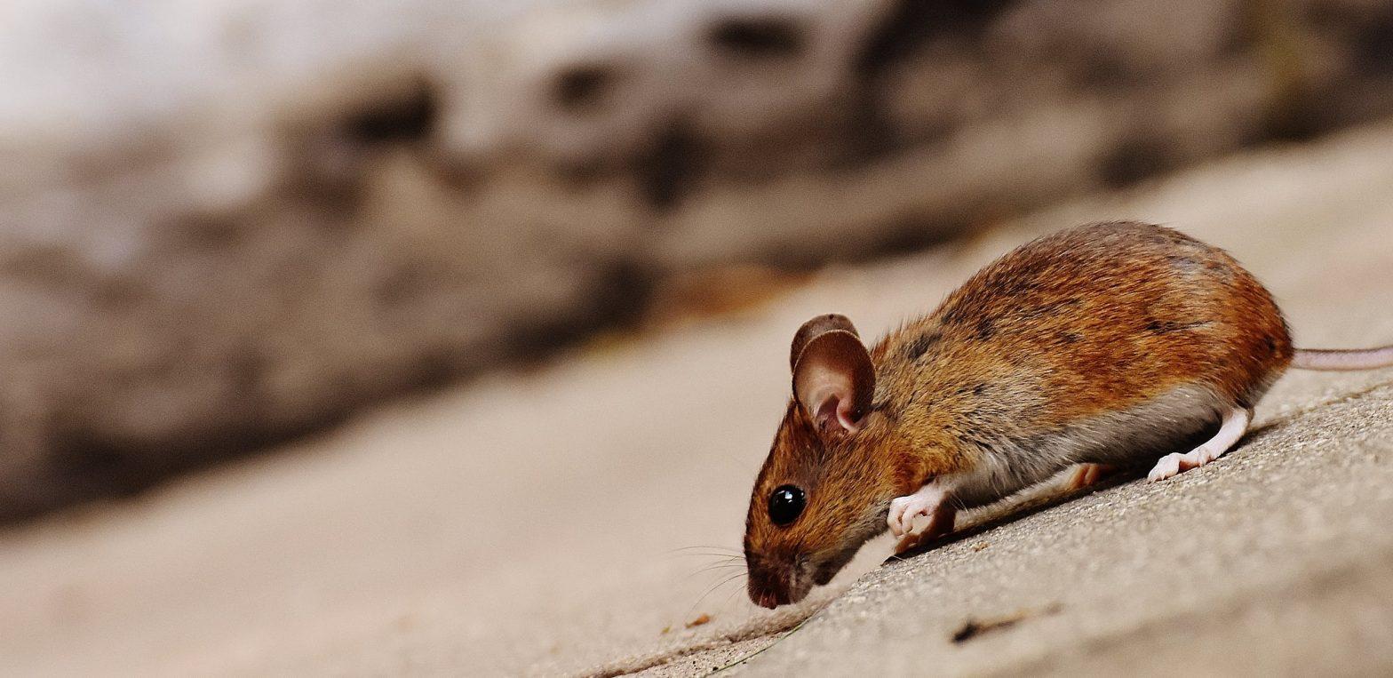 Comment se débarrasser des souris ?